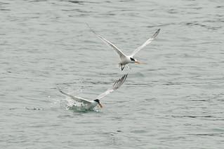 DSC_4735.jpg Elegant Terns, Moss Landing