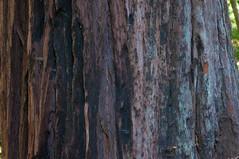 Camping with friends (Ashly Myrick- Crocker) Tags: redwoods norcal northern california cali camping woods free beauty earth nature slugs bananaslugs trees fall friends fun