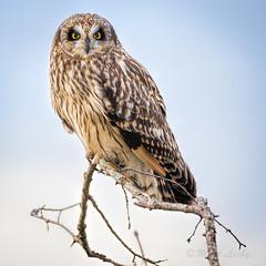 0_0 (mLichy911) Tags: shorteared owl owls wild wildlife wa washington winter nature pnw portrait perch canon 7dmarkii 500f4 igotmyeyeonyou stare detailed cold