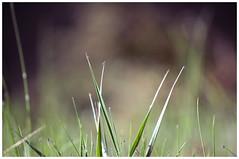 Drops (सफेद रसगुल्ला) Tags: garden greengrass rainyday colors grass beauty explore macro green waterdrops waterdroplets rain nature naturephotography greenery d3100 nikon