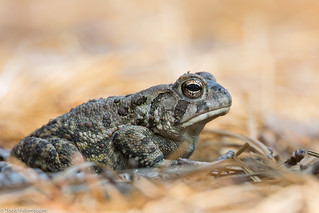BJ8A8333-Fowler's Toad