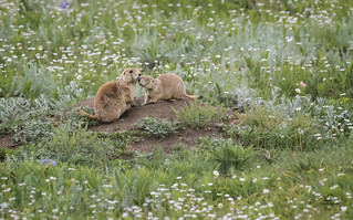 Protective Prairie Dog Mother_