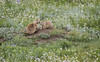 Protective Prairie Dog Mother_ (Glatz Nature Photography) Tags: animalfamily blackhills blacktailedprairiedog burrow cynomysludovicianus flowers glatznaturephotography grassland motherandbabyanimal nature nikond5 northamerica southdakota usnationalparks wildanimal wildlife windcavenationalpark animal mammal rodent