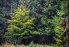 Wald (.hansn#) Tags: wald baum laub nadel herbst verfärbung geld blatt blätter wiese tannen laubbaum nadelbaum oberösterreich oberthan österreich nebel