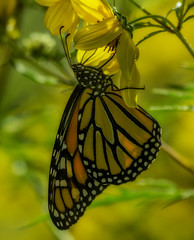 MonarchButterfly_SAF4293 (sara97) Tags: danausplexippus butterfly endangered insect missouri monarch monarchbutterfly nature outdoors photobysaraannefinke pollinator saintlouis towergrovepark copyright©2017saraannefinke