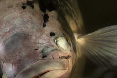 Kiss Me Baby - HMM! (suzanne~) Tags: fish pisces macromondays zodiac aquarium macro