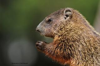 Marmotte (Marmot)