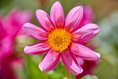 un monde de couleurs (rondoudou87) Tags: pentax k1 nature natur jardin garden flower fleur color couleur close closer macro light lumière pink rose rouge red bokeh green vert