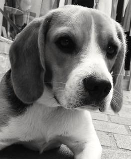 Joli Beagle dans les rues commerçantes de St Martin