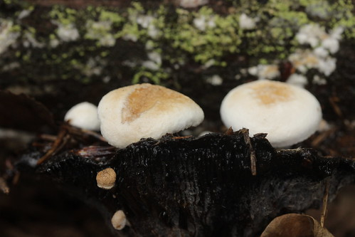 Asterophora lycoperdoides