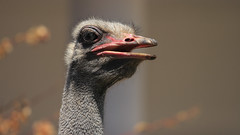 Cheer Up, (AnyMotion) Tags: ostrich afrikanischerstrauss struthiocamelus bird vogel portrait porträt 2008 botswana anymotion africa afrika animal animals tiere nature reisen travel wildlife portraitaufnahmen ngc npc