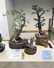 001 Operculicarya decaryi (saschmitz_earthlink_net) Tags: 2017 california los angeles county arcadia losangelescountyarboretumandbotanicgarden cssa cactusandsucculentsocietyofamerica cactus show