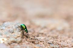 Green Dock Beetle (oandrews) Tags: 30dayswild beetle beetles canon canon70d canonuk fauna gastrophysaviridula greendockbeetle insect insects invertebrate invertebrates minibeast minibeasts nature naturereserve outdoors summerleys wildlife wildlifetrusts wollaston england unitedkingdom gb