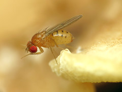 Mycophilous Drosophila (treegrow) Tags: washingtondc rockcreekpark lifeonearth nature canonpowershotsx40hs raynoxdcr250 arthropoda insect diptera drosophilidae drosophila taxonomy:genus=drosophila