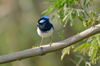 Superb Blue Wren (m)