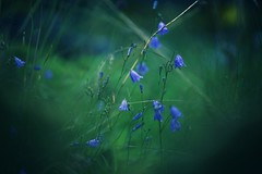 after rain comes the sun (christian mu) Tags: flowers bokeh nature summer münster muenster botanicalgarden botanischergarten schlossgarten batis batis8518 85mm 8518 zeiss sonya7ii sony christianmu germany