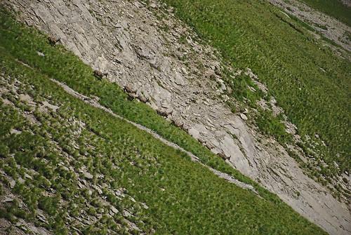 Steinböcke rennen Berg hinunter