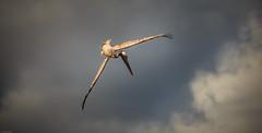 target (Steven-ch) Tags: pelican ecuador beach canon cloudy travel eos6d lasbachas flying galapagos bird southamerica hunting islasantacruz animal islasgalápagos ec canonflickraward