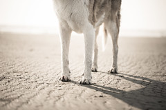 Jonah 31/52/2017 Moon Landing (nonbooty) Tags: 52weeksfordogs sand beach pacificcoast collie