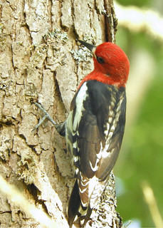 Red-breasted Sapsucker 5-22-17 Vancouver Lake State Park