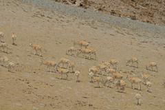 IMG_0395 (y.awanohara) Tags: tibet wildlife scenery ngari may2017
