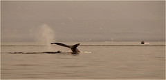 and down he goes... (marneejill) Tags: humpback whale tail fluke salish sea forest fire smoky skies bc