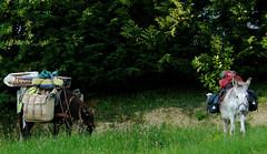 Cagnotte, Landes, les 2 ânes d'un Jacquet sur le chemin de Compostelle. Thème du mois d'août: transports (Marie-Hélène Cingal) Tags: france sudouest southwest aquitaine landes 40 paysdorthe cagnotte âne donkey pélerin pilgrim pélerinage pilgrimage stjacquesdecompostelle santiago tours twozweideuxduedva2