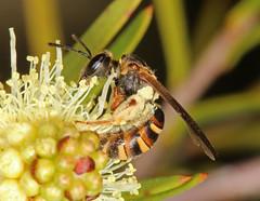 James, Hold the ladder steady ........... (Jenny Thynne) Tags: bee insect pollinator brisbane queensland australia hymenoptera lasioglossumchilalictusbicingulatum apoidea halictidae