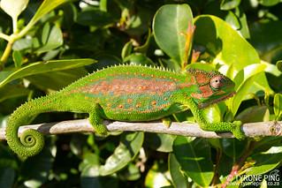Bradypodion pumilum - Cape Dwarf Chameleon.