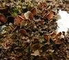 Nephroma tangeriense (davidgenneygroups) Tags: uk scotlandcc lichen tangeriense saxicolous folios fertile nephroma nephromatangeriense