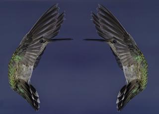 Hummingbird Parenthesis