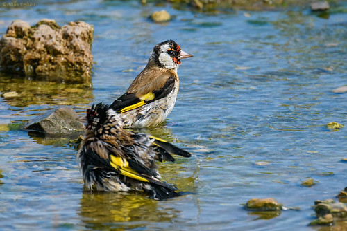 European Goldfinch (Carduelis carduelis) bathing