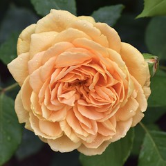 "Rose - ""Amber Queen"" (MJ Harbey) Tags: rosa rose flower garden rosegarden cliveden nationaltrust clivedennationaltrust peachrose amberrose"