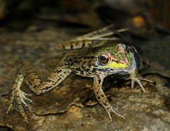 """My best pose (*Millie -""""ON and OFF"""") Tags: frog environment outdoors acuatic water pond nature animal animalplanet green efs55250mmf456isstm canon inspiredbylove savetheearth"""
