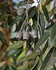 PHMP9303 (peterhut (Muirland Publishing)) Tags: garden australiannativeplants gum