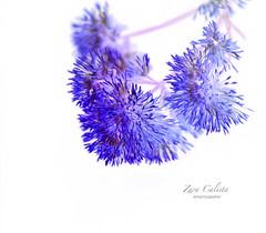 Shades of a Dream (Zara Calista) Tags: violet color white dream purple artistic macro light nature outdoors flowers nikon d750
