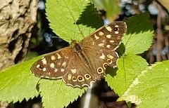 Autumn butterfly (katy1279) Tags: butterflyspeckledwoodbutterflyautumneveninglightsunshine