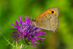 Maniola jurtina (2) (JoseDelgar) Tags: insecto mariposa maniolajurtina 425873628735087 josedelgar naturethroughthelens ngc sunrays5 npc goldwildlife coth coth5