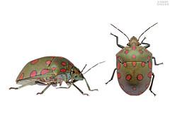 Shield-backed bug (ggallice) Tags: jewelbug metallicshieldbug shieldbackedbug scutelleridae fincalaspiedras allianceforasustainableamazon wwwsustainableamazonorg madrededios peru southamerica amazon rainforest jungle