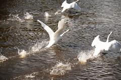 Taking flight (Ian Holmes TUP) Tags: nikon d5300 water worcester swans river riversevern flight worcestershirewildlifetrust