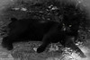 Chattanooga (MFChab) Tags: chattanooga bw cat chatnoir gattonero noiretblanc yeux verts