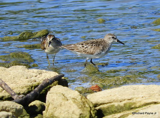 Semipalmated and Least Sandpiper_N8801