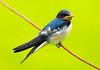 Barn Swallow (Juvenile) 3 (CheeToS0) Tags: barnswallow bird japan swallow tokyo yoyogikoen yoyogipark