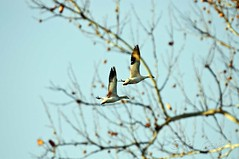 Lewis & Clark Park, MO 02-15 (368) (Fly By Knight) Tags: snow geese waterfowl migration