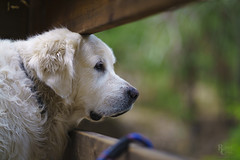 Waiting and Watching (RobertCross1 (off and on)) Tags: a7rii alpha bailey ca california emount englishcream fe85mmf18 goldenretriever ilce7rm2 mariposa sierranevada sierras sony wawona yosemite yosemitenationalpark dog fence forest fullframe golden mansbestfriend mirrorless mountains pet trees fencefriday portrait