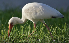 Breakfast....By Dawns Early Light (ACEZandEIGHTZ) Tags: aves chordata ibis birdwatcher nikon d3200 eudocimus albus americanwhite mature adult foraging coth coth5