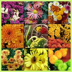Chrysanthemum Poster 1 (M.J.Woerner) Tags: november fallmums asteraceae chrysanths autumcolors postermums chrysanthemum autumflower