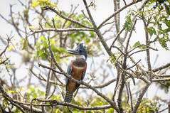 Nicaragua -Centro Ecologico Los Guatuzos: Ringed Kingfisher (Ceryle torquata) (Exper!ence it) Tags: nicaragua