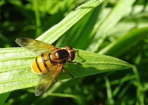 Lesser Hornet Hoverfly (Volucella inanis)