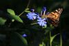 American Lady (oldogs) Tags: butterfly plumbago ceratostigmaplumbaginoides blueflower flower bloom garden americanladybutterfly paintedlady
